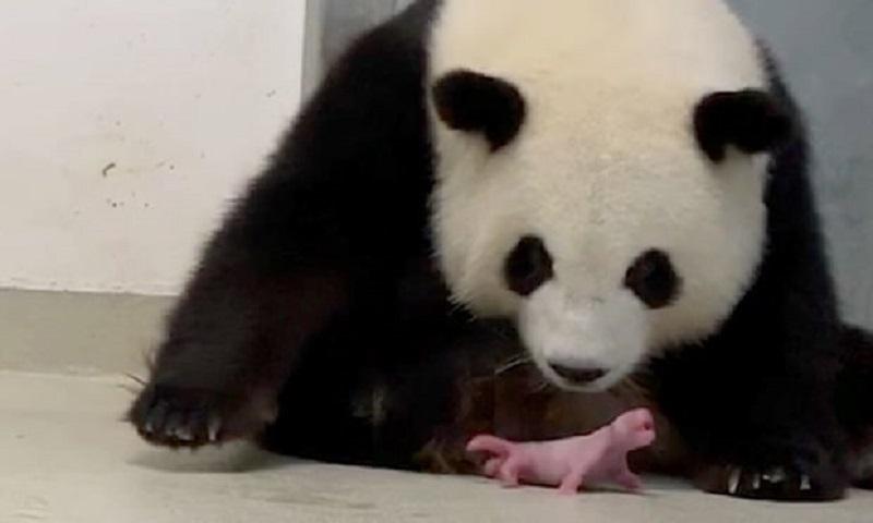 Nascimento de pandas gêmeos é celebrado em zoológico de Berlim