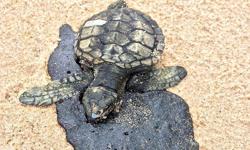 Dezenas de tartarugas e filhotes aparecem mortos, sujos com óleo, nos litorais do Ceará e da Bahia