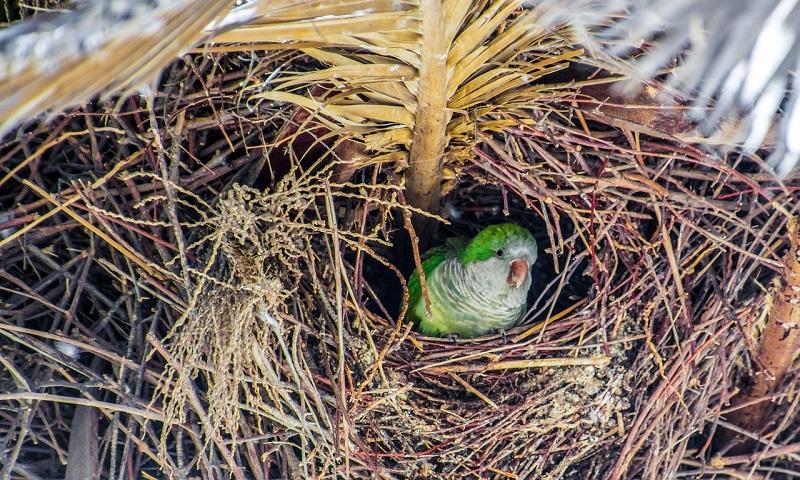 Madrid fará abate e esterilização de periquitos para reduzir superpopulação da ave invasora