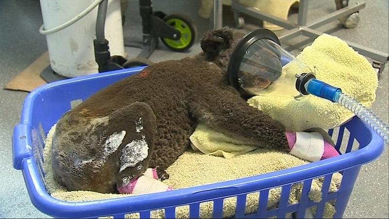 Australiana, que resgatou coala em meio a chamas e emocionou o mundo, se reencontra com animal no hospital