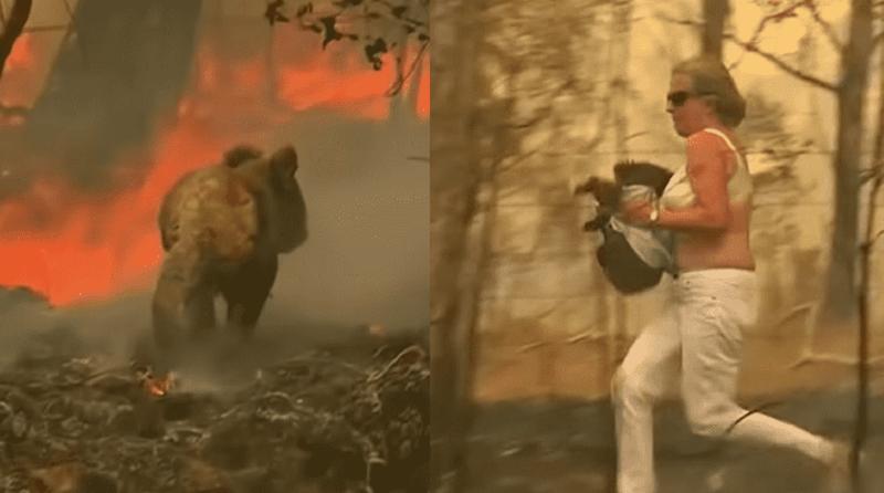 Já passa de mil o número de coalas mortos por causa de incêndios florestais na Austrália