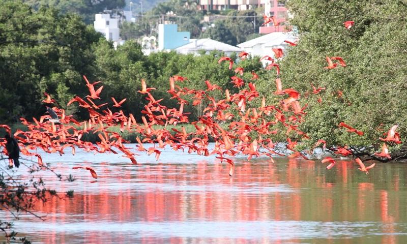 Depois de mais de dois séculos, guarás reaparecem em manguezais de Florianópolis