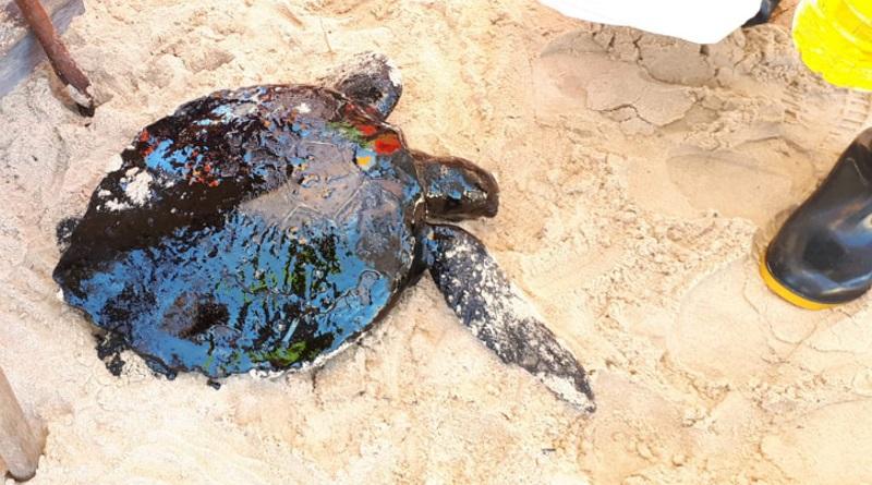 Já são mais de 80 animais mortos pela contaminação de óleo no litoral nordestino
