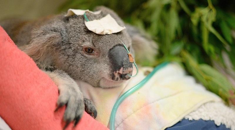 Já passa de um mil o número de coalas mortos por causa de incêndios florestais na Austrália