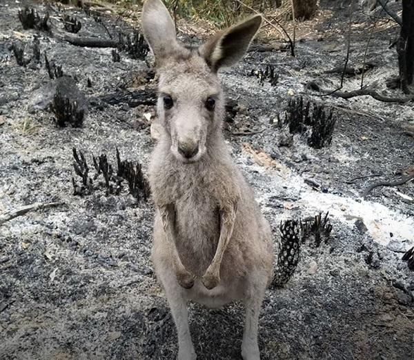 Após chuvas, equipes focam esforços no tratamento de animais feridos e órfãos pelos incêndios na Austrália