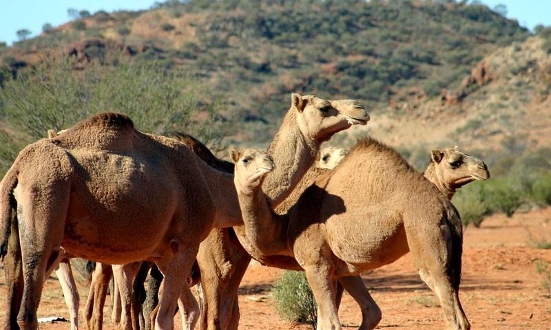 Austrália vai abater 10 mil camelos porque animais  ameaçam reservas de água da população