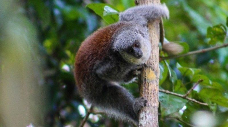 Descrita nova espécie de macaco na Amazônia: o zogue-zogue-de-barba-branca