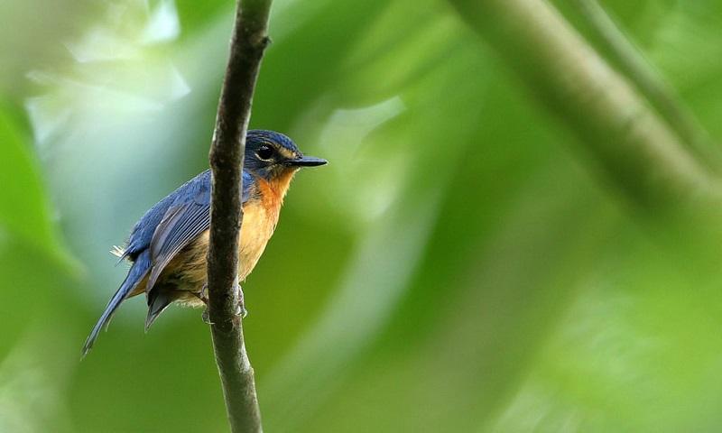 Dez novas espécies de aves são encontradas em ilhas remotas da Indonésia, na maior descoberta do século nessa área