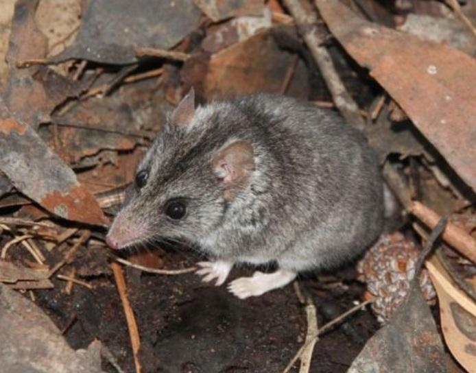 Em risco de extinção, animais enfrentam incêndios devastadores na Kangaroo Island, na Austrália