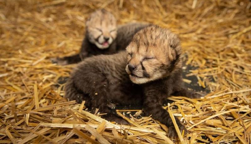 Dois filhotes de guepardo são os primeiros do mundo a nascer através de fertilização in vitro