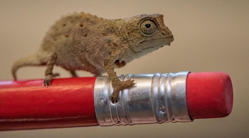 Zoológico inglês comemora nascimento de três minúsculos camaleões pigmeus