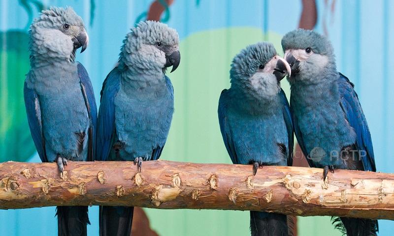 Ararinhas-azuis: o retorno tão esperado é envolto em denúncias e falta de transparência