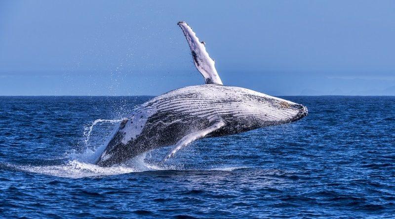 Fotografando baleais-jubarte… e no Espírito Santo!