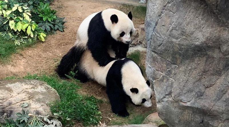 Pandas gigantes aproveitam a tranquilidade do zoológico de Hong Kong, na quarentena, para acasalar… depois de dez anos juntos