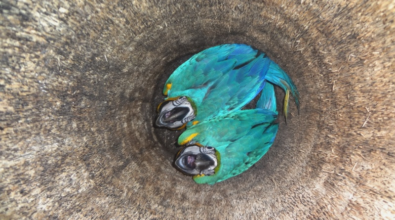 Projeto Aves Urbanas - Araras na Cidade: ocos cheios de surpresas