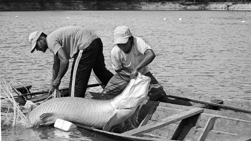 indígenas Paumari pescando pirarucu na Amazônia