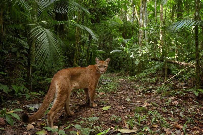 floresta-viva-candisani-onca-parda-800x532