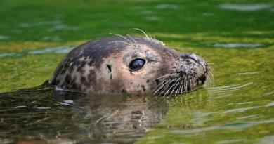 foca no rio tâmisa
