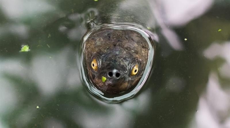 tartaruga-real-camboja