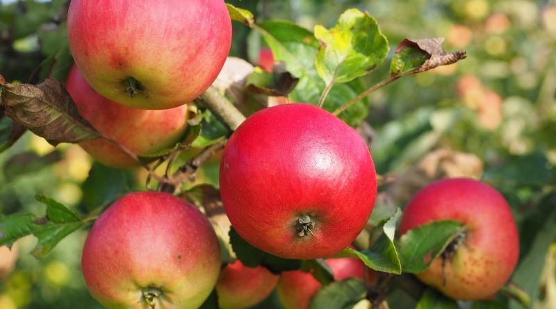 pé de maçã