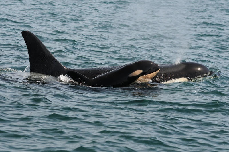 baby-orca-2-800.00