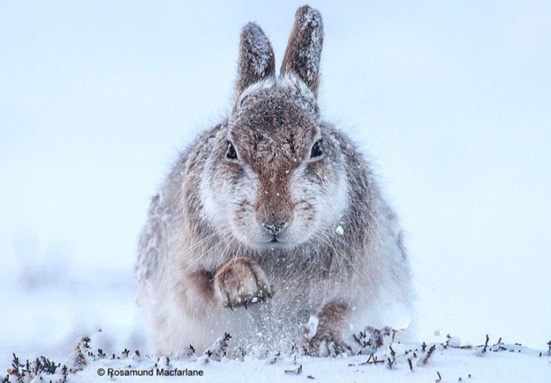 coelho na neve