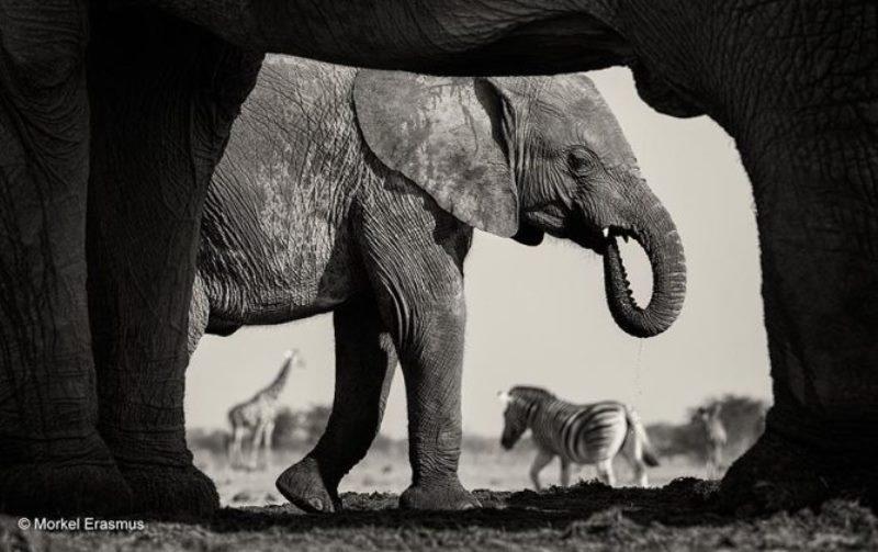 elefantes na áfrica