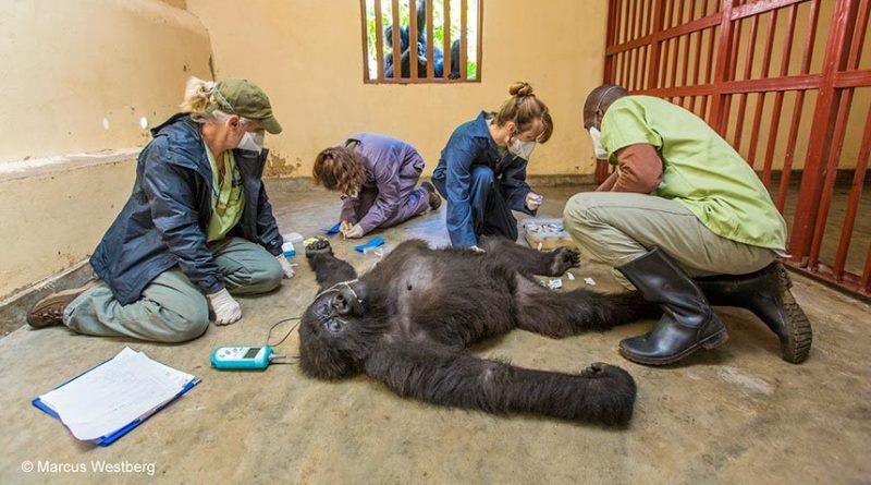 gorila em atendimento