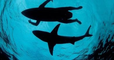 tubarão e surfista