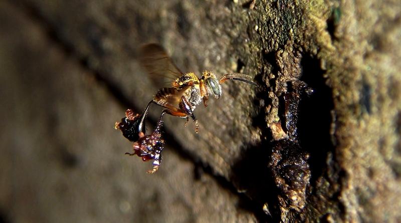 abelha voando e produzindo própolis