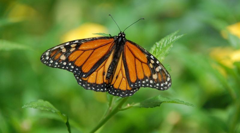 borboleta-monarca
