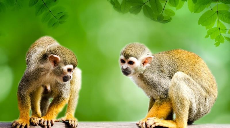 macaco da Amazônia, biodiversidade brasileira