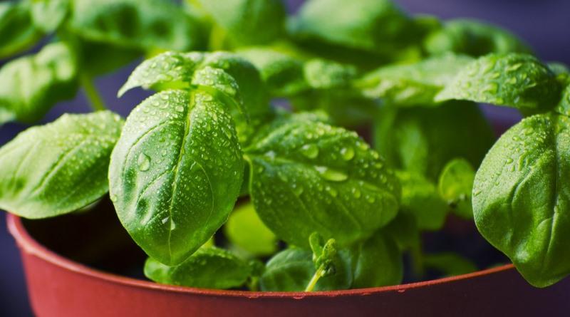 manjericão é erva aromática