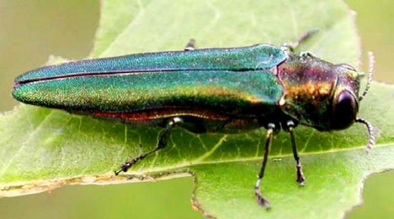 besouro verde asiático