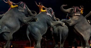Elefantes fazem número de equilíbrio no circo Ringling Brothers