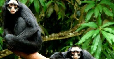 macaco aranha da amazônia