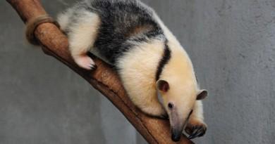 babalu, tamanduá-mirim do zoológico de Brasília