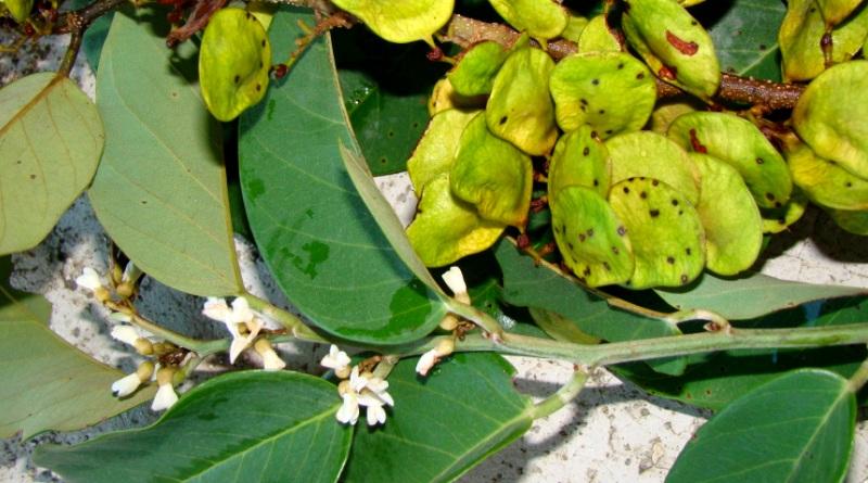 Dalbergia ecastophyllum_AnitaStival_FloraDigital_BLOG