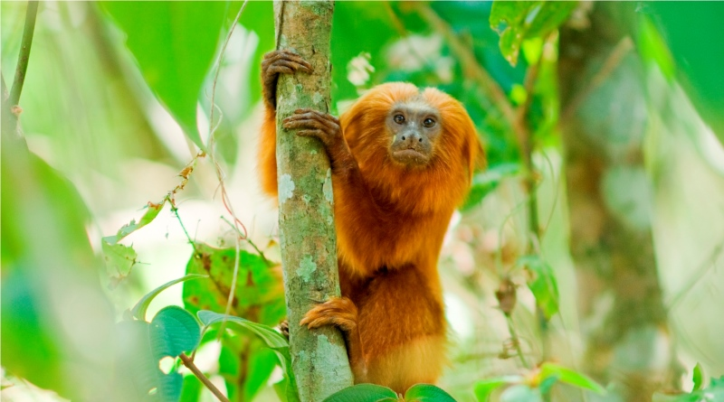 mico-leão-dourado saiu da lista de animais em risco de extinção graças a projeto de conservação da espécie