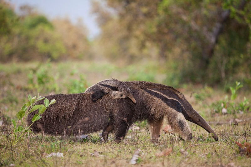 fotografia-no-pantanal-joao-marcos-rosa-tamandua-bandeira-com-filhote-800