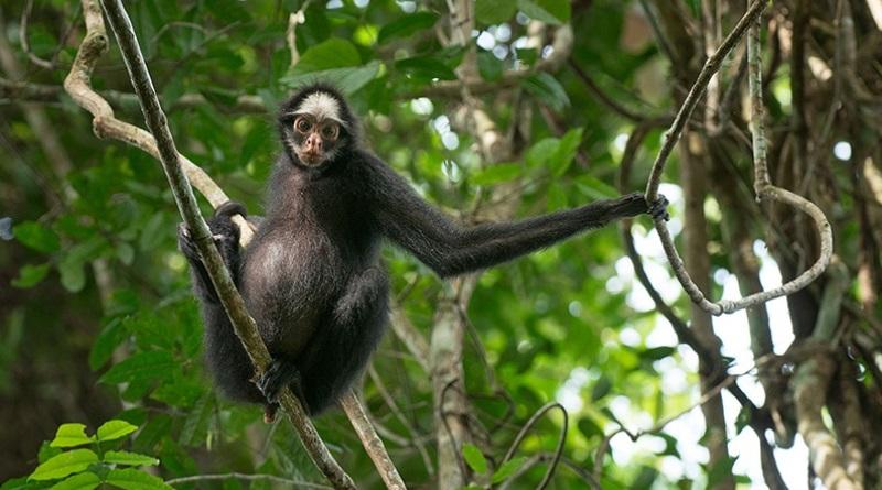 macaco-aranha-da-cara-branca-800