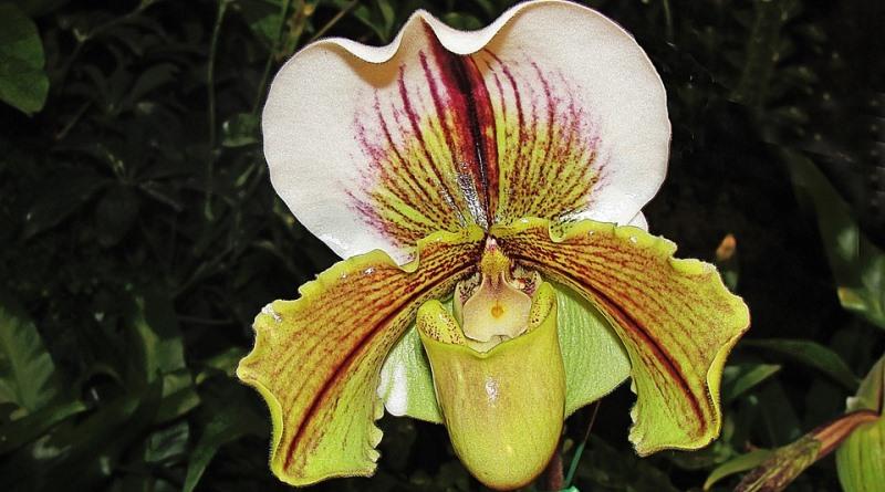 orquidea-terrestre-2-800
