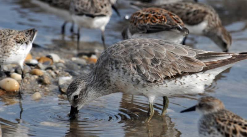derretimento do Ártico ameaça espécies de aves migratórias