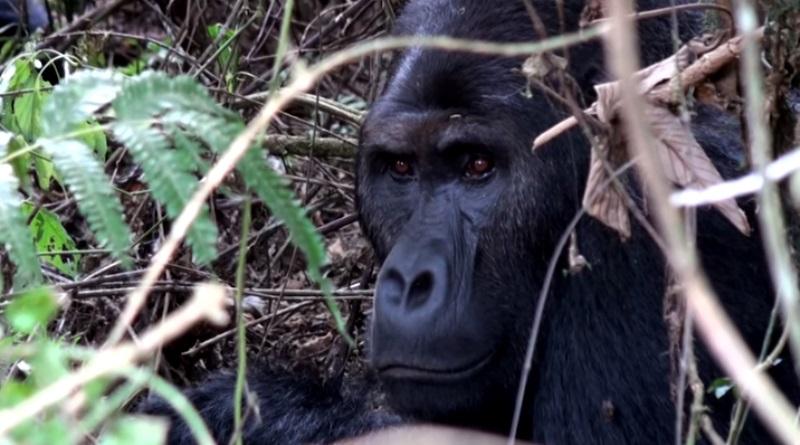 extincao-maior-primata-do-mundo-gorila-de-grauer