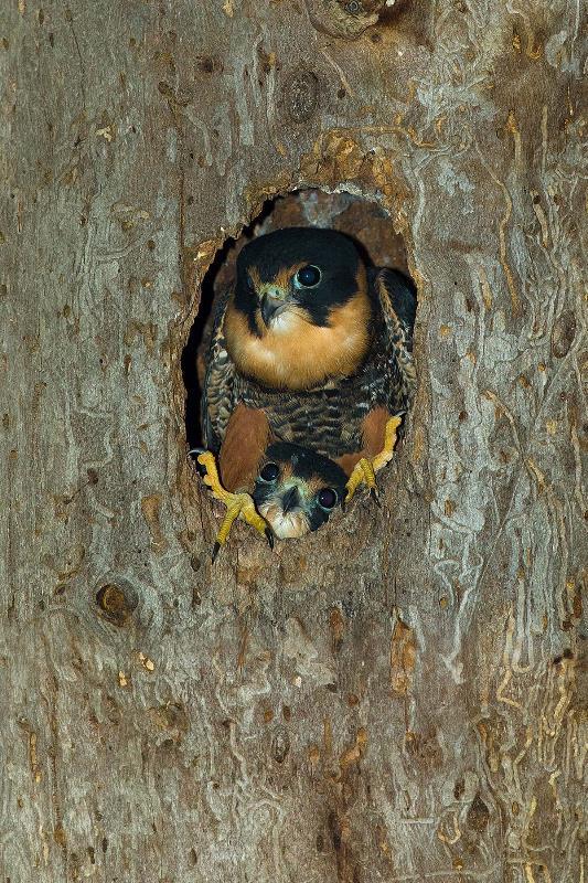 falcão e seu filhote no tronco da árvore