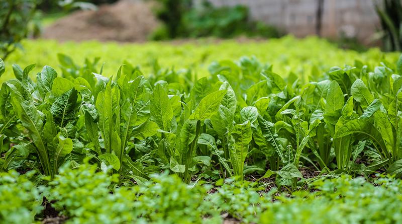 Agricultura orgânica em Osasco