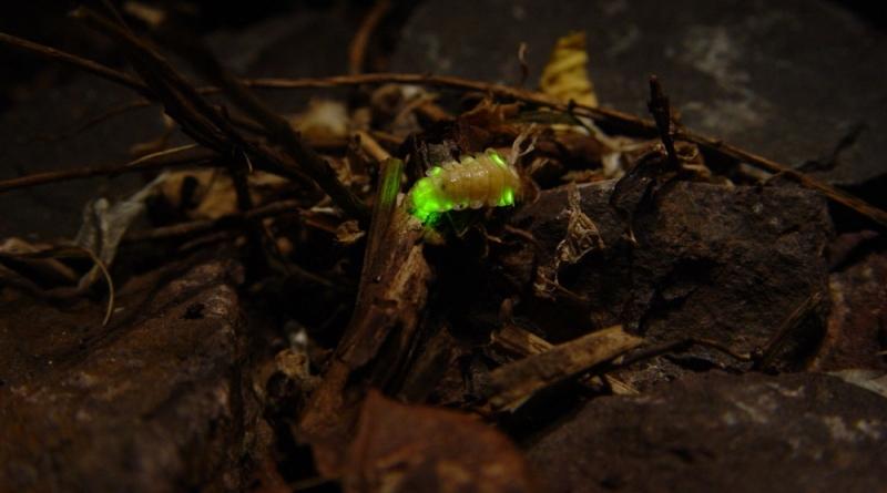 Vagalumes iluminam cavernas e cupinzeiros na Amazônia para atrair presas