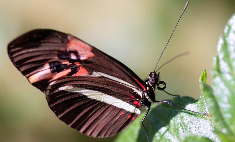 borboleta-maracuja-800
