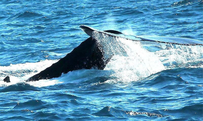 meu-encontro-com-as-baleias-jubartes-2