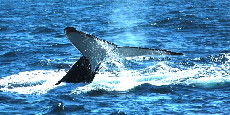 meu-encontro-com-as-baleias-jubartes-3